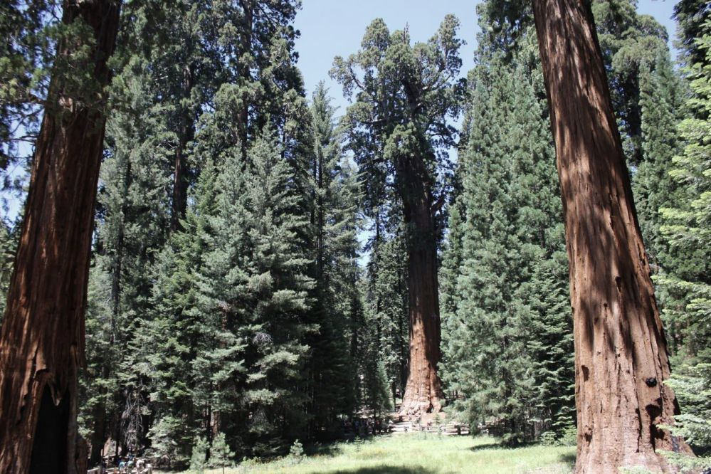 california_fratus_shermantree