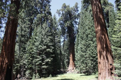 Arborgrammaticus ~ Titolo: The Red King. Luogo: Giant Forest, Sequoia National Park, California.