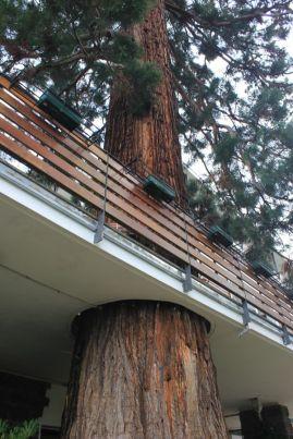 Sequoie d'Italia ~Sequoia del Park Hotel di Merano.