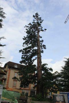 Sequoie d'Italia ~ La sequoia secolare di Villa Mathilda, poche settimana prima dell'abbattimento, Merano.