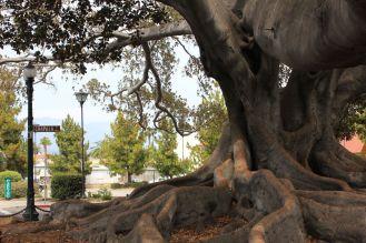Arborgrammaticus ~ Titolo:Roots. Luogo: Ficus della stazione degli autobus di Santa Barbara, California.