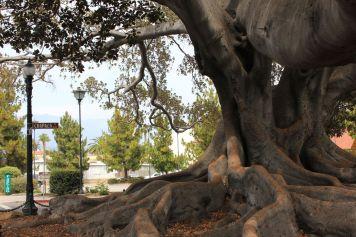 Titolo: Roots. Luogo: Ficus della stazione degli autobus di Santa Barbara, California.