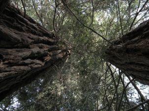 Sequoie d'Italia ~ Cime folte di due sequoie costali nel parco del castello di Agliè (TO).