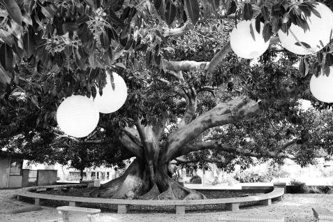 Arborgrammaticus ~ Ficus a Los Angeles