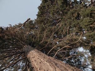 Sequoie d'Italia ~ Sequoia del parco botanico di Villa Piazzo a Pettinengo (BI).