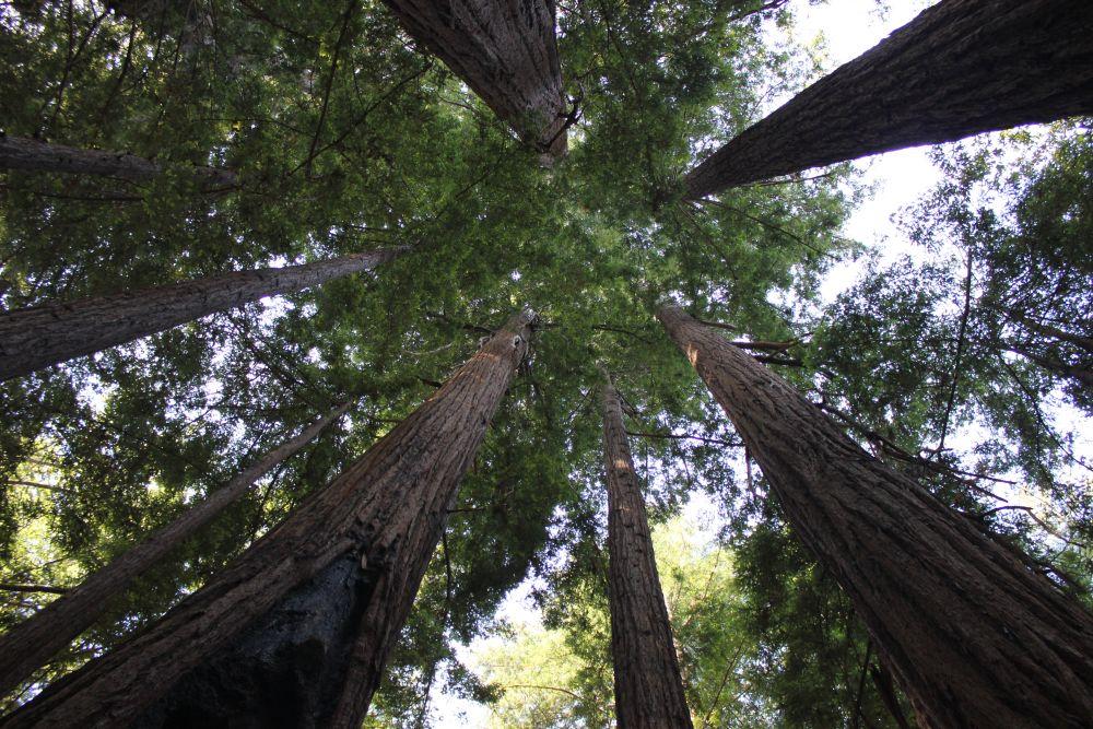 sequoiaforest_fratus_2013