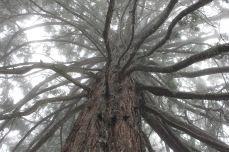Sequoie d'Italia ~ Una delle due grandi sequoia della Foresta di Lardore, Parco della Sila.
