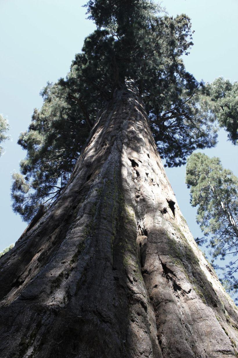 bullbucksequoia_fratus_neldergrove_redux
