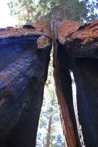 doublesplendour_giantforest_fratus_2013_c_redux