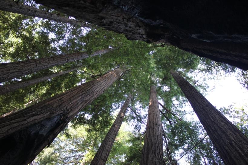 sequoie_bigsur_fratus_redux