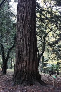 Sequoie d'Italia ~ Il tronco della sequoia costale messa a dimora a metà degli anni '40 del XIX secolo, Giardino Siemoni, Parco del Casentino (AR).