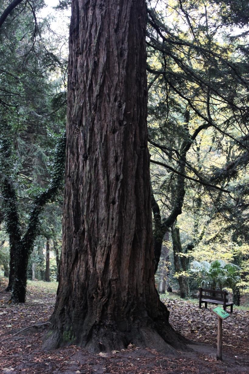 sequoia_arboretosiemoni_fratus_2014_1_redux