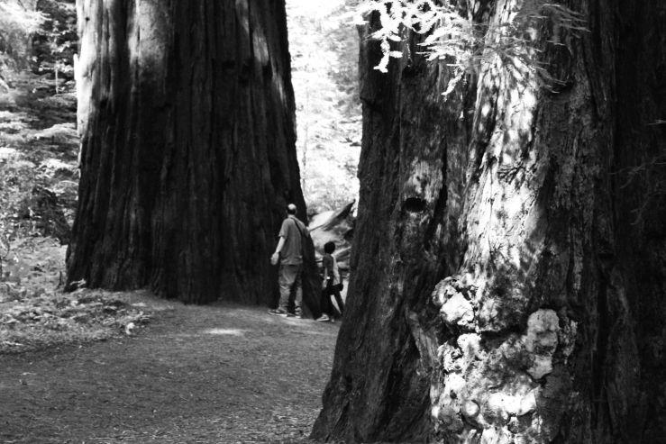 cercatorisequoie_california_fratus_redux
