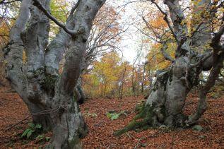 Gli alberi-montagna delPalanfrè