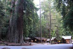 Titolo: Sua maestà. Luogo: Santa Cruz Big Trees NP, California.