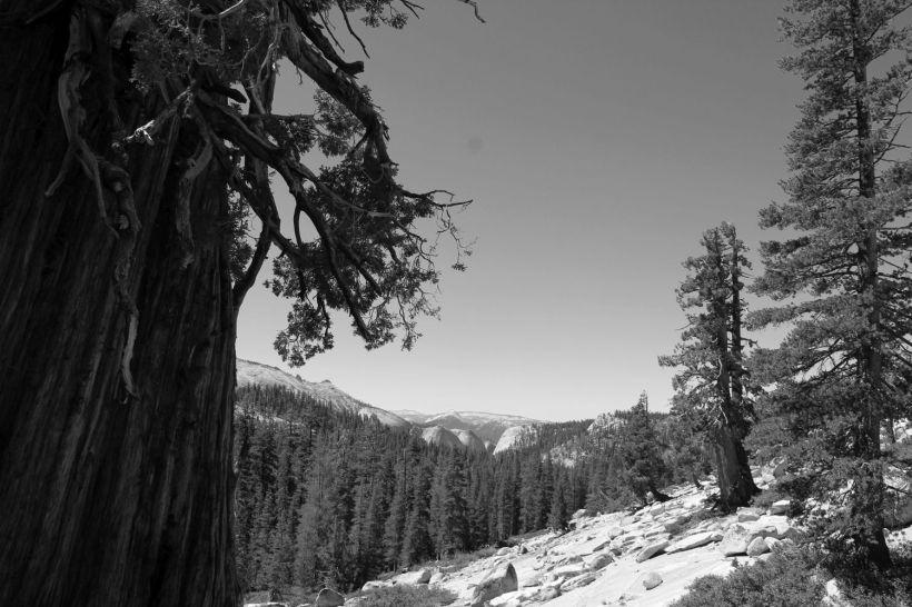 hr_fratus_california_juniperus_olmsteadpoint_1
