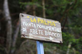 Arborgrammaticus ~ Titolo. La Palma. Luogo: Boschi di Paularo.