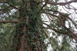 Sequoie d'Italia ~ Uno degli esemplari del parco di Villa Piazzo a Pettinengo (BI).