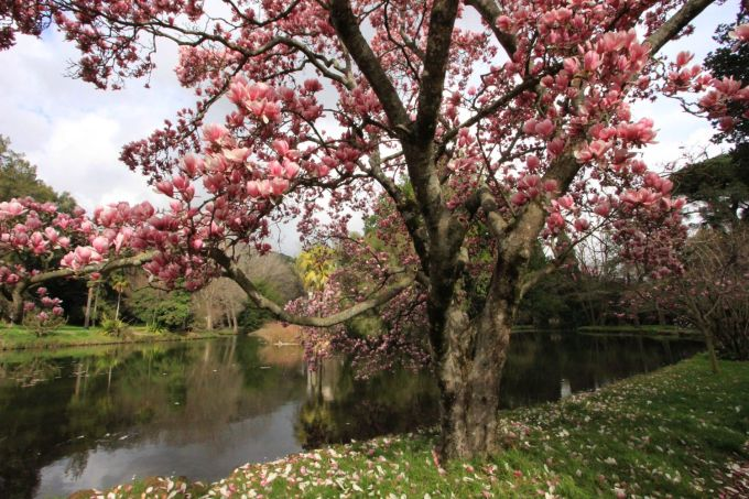fratus_caserta_giardinoinglese_magnoliasoulange1_redux