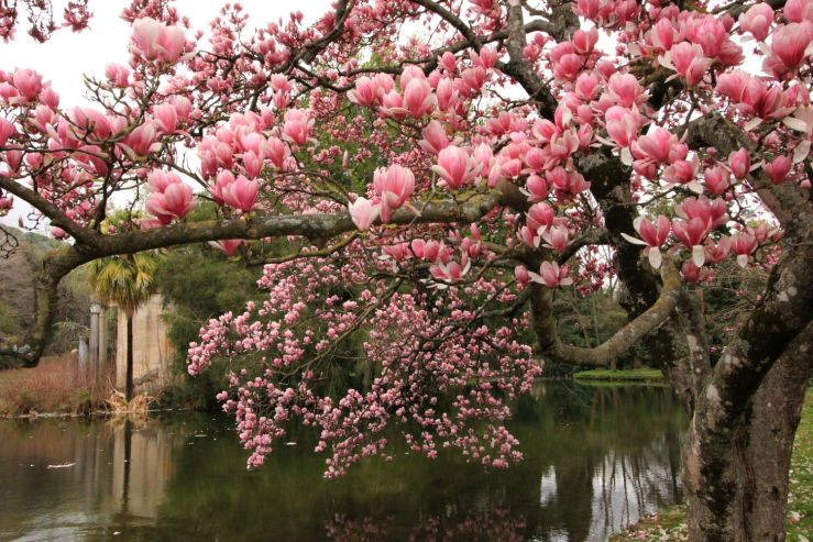 fratus_caserta_giardinoinglese_magnoliasoulange2_redux