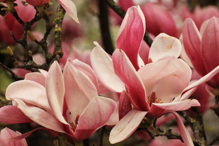 fratus_caserta_giardinoinglese_magnoliasoulange3_redux