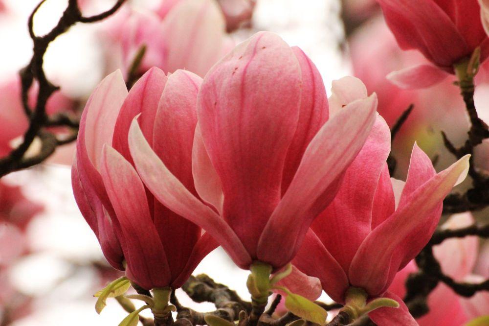 fratus_caserta_giardinoinglese_magnoliasoulange4_redux