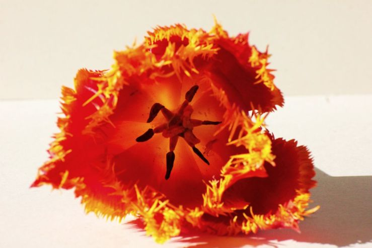 fratus_tulipano_laggiuinfondo_redux