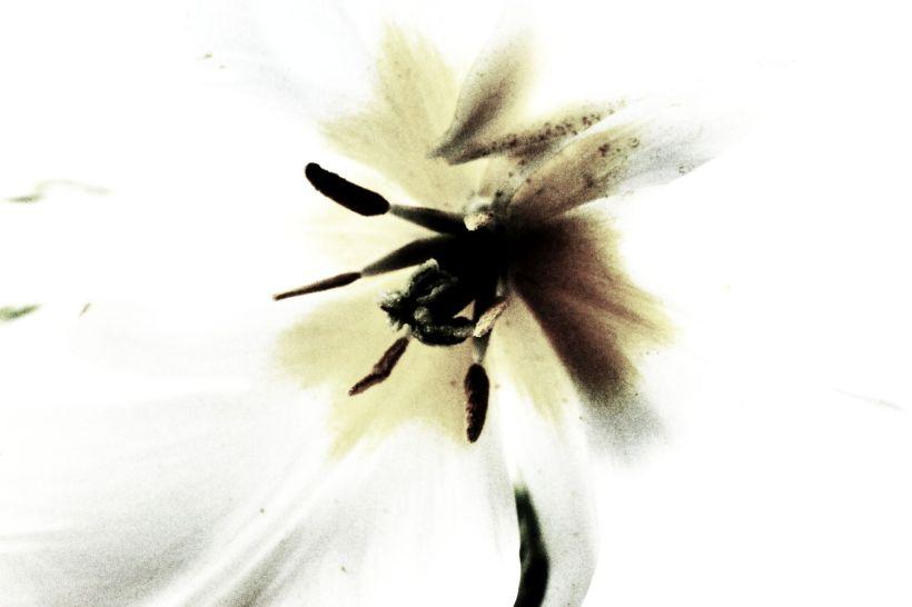 fratus_tulipano_stami_redux