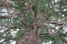 Sequoie d'Italia ~ Dettaglio della chioma della splendida sequoia di Vicoforte (CN).