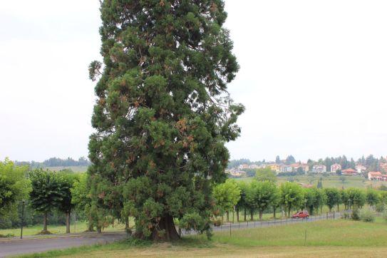 Sequoie d'Italia ~ Sequoia di rilevanza monumentale nella campagne di Vicoforte (CN).