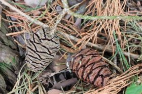 Sequoie d'Italia ~ I caratteristici nconi della Sequoiadendron giganteum.