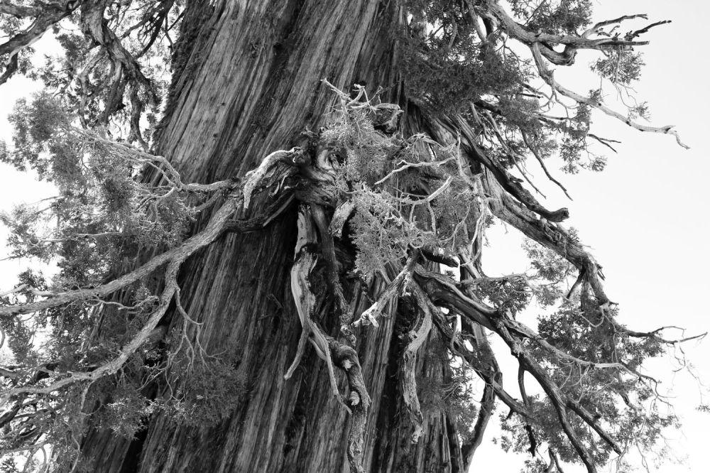 hr_fratus_california_juniperus_olmsteadpoint_2_redux