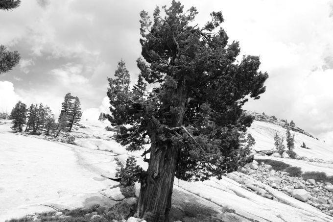 hr_fratus_california_juniperus_olmsteadpoint_4_redux