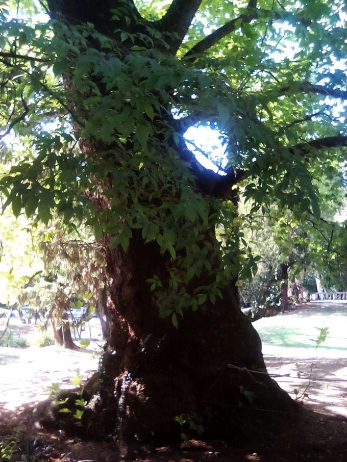 treviso_alberi_fratus_1
