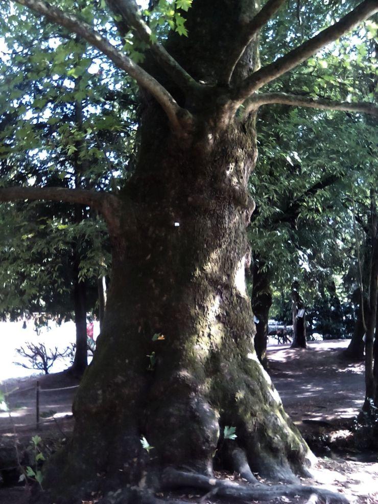 treviso_alberi_fratus_2