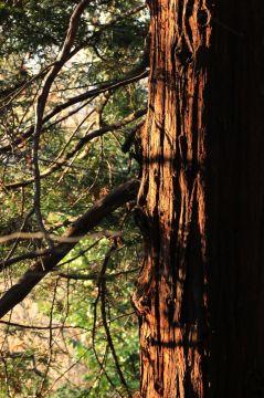 Sequoie d'Italia ~ Al tramonto. Colori e ombre su corteccia, Parco Leopardi, Torino.