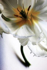 fratus_tulipano_fiore_redux