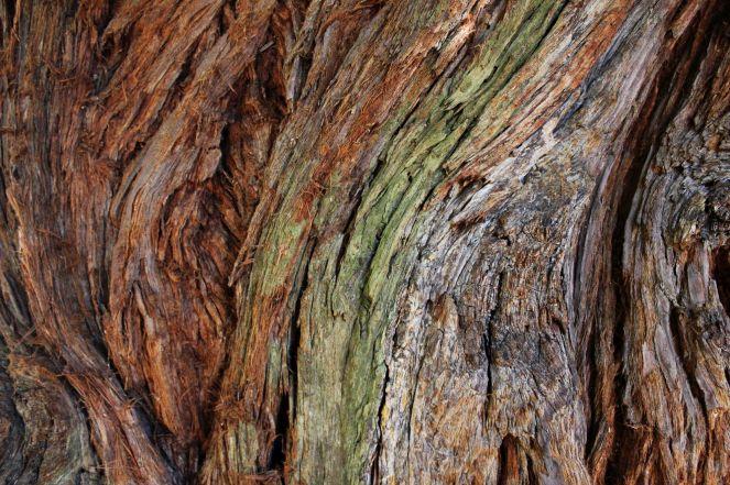 Sequoie d'Italia ~ Corteccia, sequoia del Bottegone, Biella.