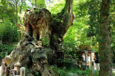Titolo: Preghiera. Luogo: Frande canforo del tempio di Kinomiya, Atami, Giappone.
