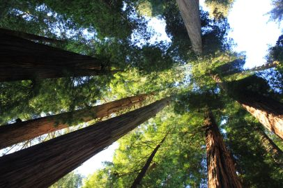 Titolo: Cattedrale. Luogo: Stout Grove, Jedediah Smith State Park, California.