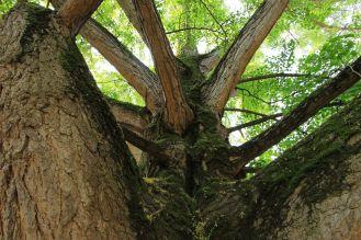 Arborgrammaticus ~ Titolo: Il ginkgo monumento. Luogo: Giardino di Palazzo Paradiso, Ferrara.