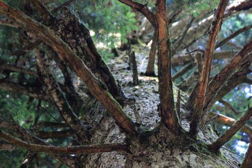 Arborgrammaticus ~ Titolo: La bicicletta sospesa. Luogo: Faggeta dell'Abetone.