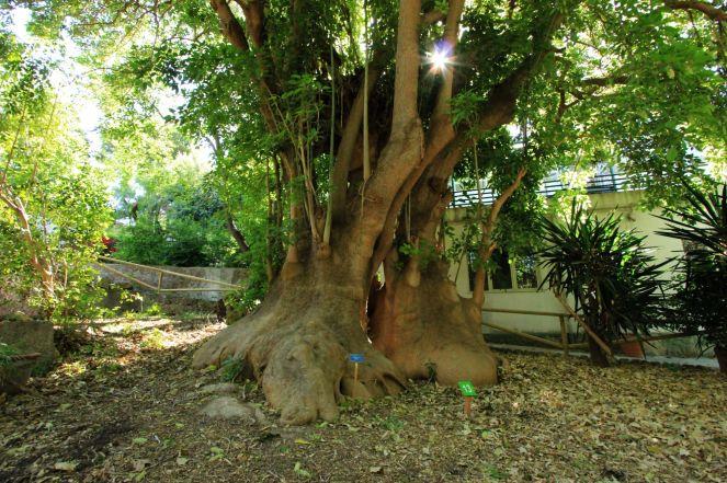 Arborgrammaticus ~ Titolo: Abbraccio. Luogo: Orto botanico di Cagliari.