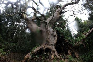 Titolo: Il platano-grotta. Luogo: nei pressi dei resti dell'eremo di sant'Elia, Curinga (CZ).