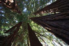 Sequoie d'Italia ~ Le cinque sorelle del Parco Burcina a Pollone.