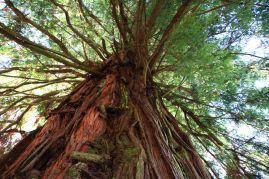 Titolo: Cuore rosso. Luogo: sequoia di Strada del Bottegone, Biella.