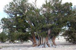 inyoforest_fratus_9_redux