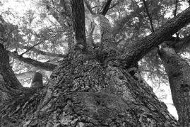 Grandi alberi della Bergamasca ~ Il cedro monumento del Parco Frizzoni di Pedrengo