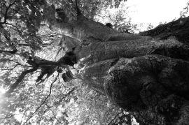 Grandi alberi della Bergamasca ~ Tronco di faggio del Monte Menna