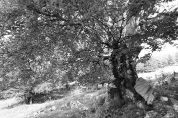 Grandi alberi della Bergamasca ~ Faggi del Menna